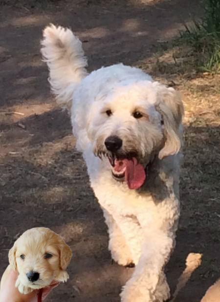 Deans And Sonias Hearty K9s Yesterdays Goldendoodle Pups