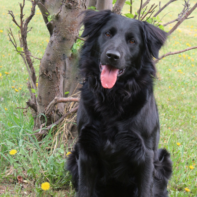 Black poodle with golden retriever
