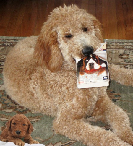 Dean's and Sonia's Hearty K9s - Yesterday's Goldendoodle Pups