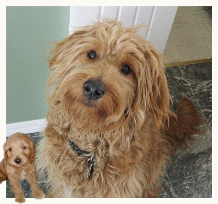 goldendoodles full grown. Will (F1 Goldendoodle), at 1
